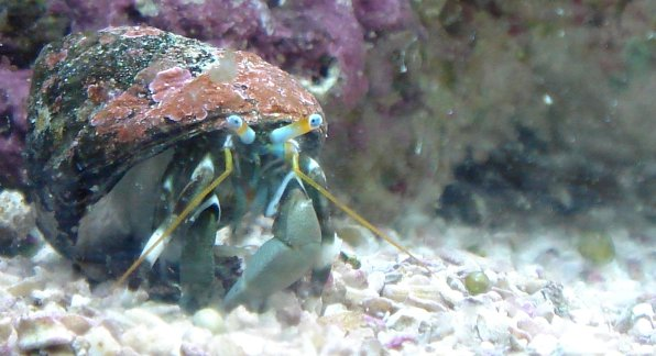 zebra dwarf hermit crab