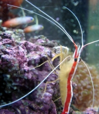 cleaner shrimp and a pair of firefish gobies.